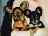 МОСКОВСКАЯ ИГРУШКА АМУРЧИК (слева) -отец щенков предыдущих пометов.