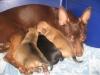 Виктория 4,5 года со щенками - оценка Отлично РКФ